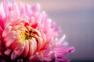 chrysanthemum-202483_640.jpg