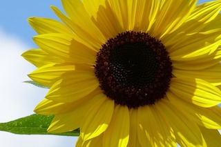 sunflower-1073211_640.jpg