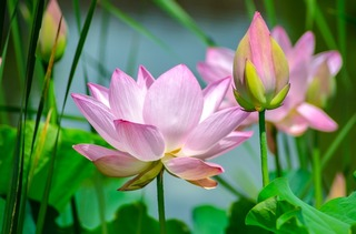 water-lily-2536194_1280.jpg