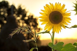 sunflower-1127174__340.jpg