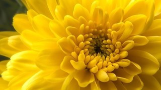 yellow-chrysanthemum-1087759__340.jpg
